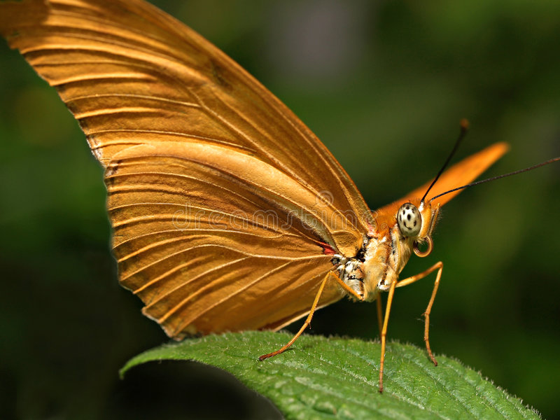 Retrato de la mariposa foto de archivo
