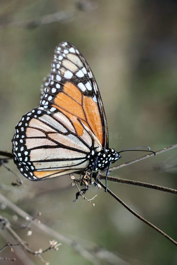 Retrato de la mariposa de monarca fotografía de archivo libre de regalías