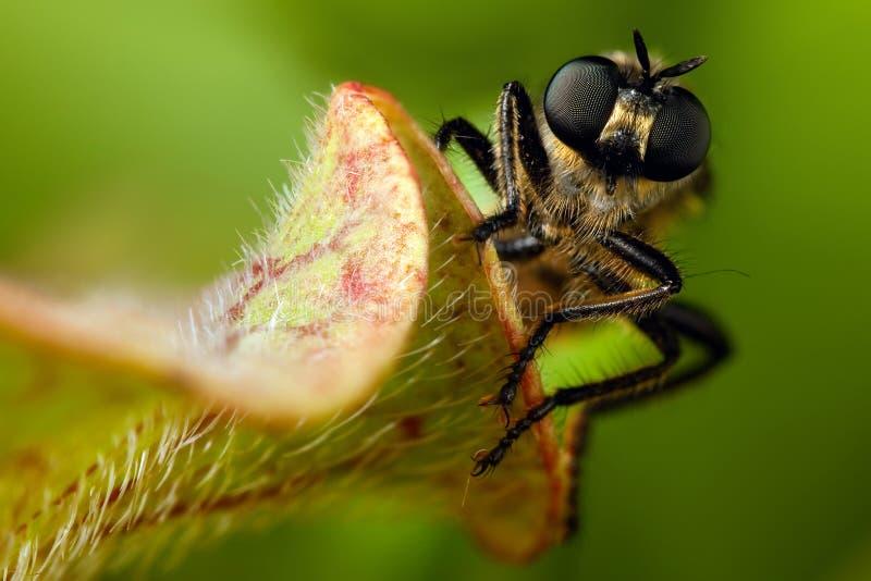 Retrato de la mosca con los ojos morados grandes imágenes de archivo libres de regalías