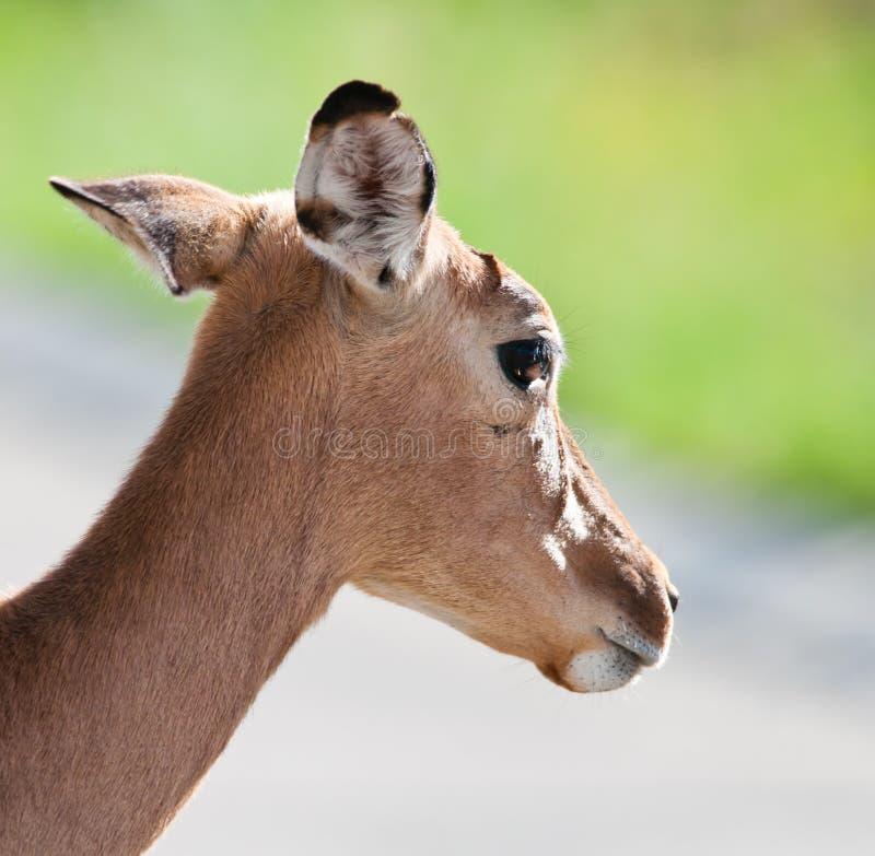 Retrato de la oveja del impala imagenes de archivo