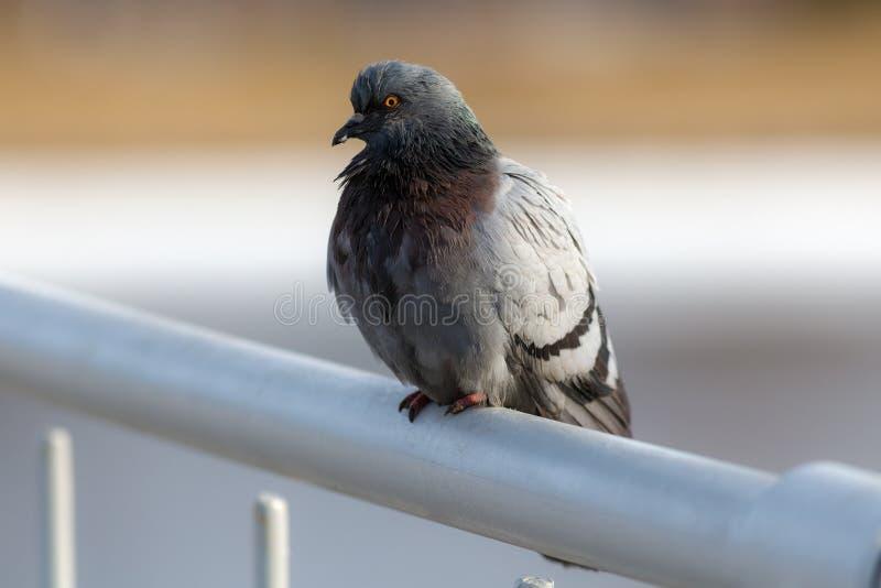 Retrato de la paloma fotos de archivo libres de regalías