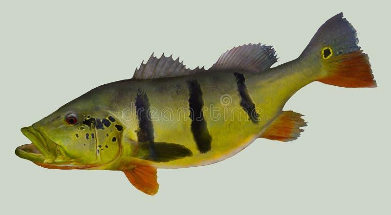 Retrato de la pesca de la lubina del pavo real fotos de archivo
