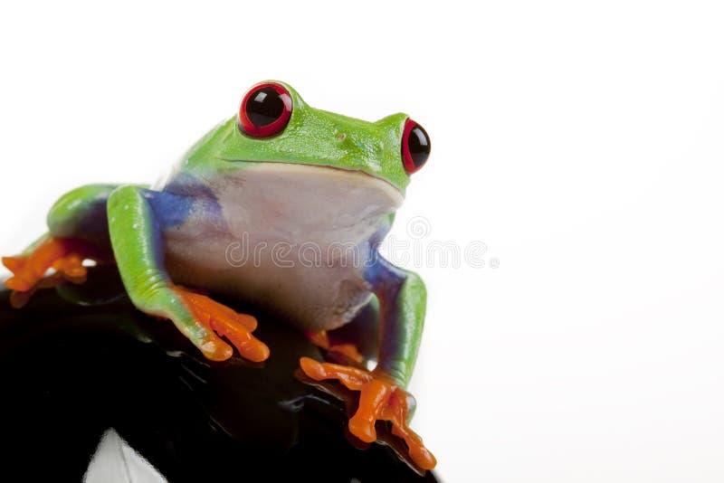 Retrato de la rana fotografía de archivo