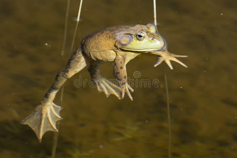 Retrato de la rana mientras que le mira imágenes de archivo libres de regalías