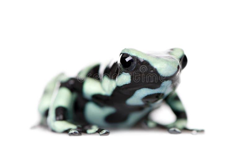 Retrato de la rana verde y negra del dardo del veneno imagen de archivo libre de regalías