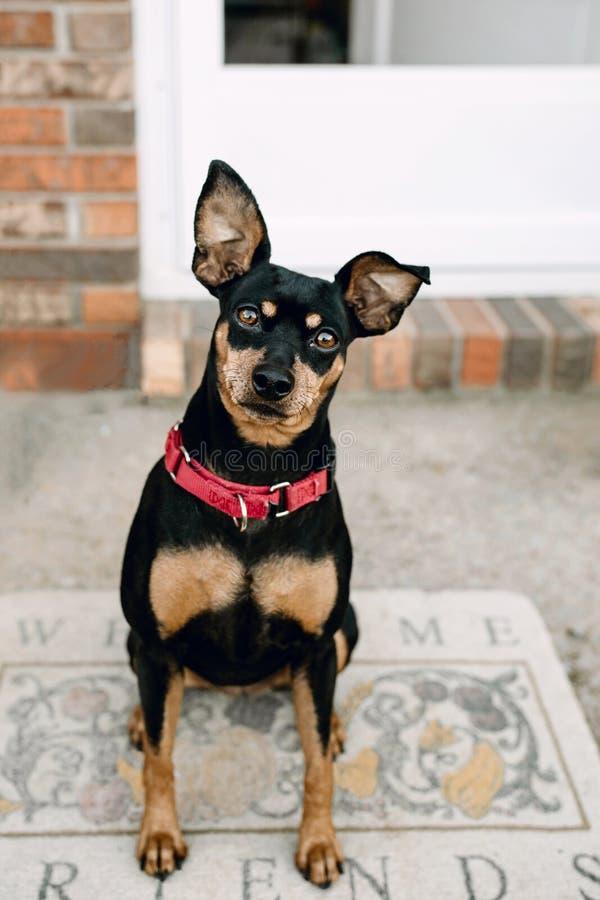 Retrato de la recepción del perro del Pinscher miniatura foto de archivo libre de regalías