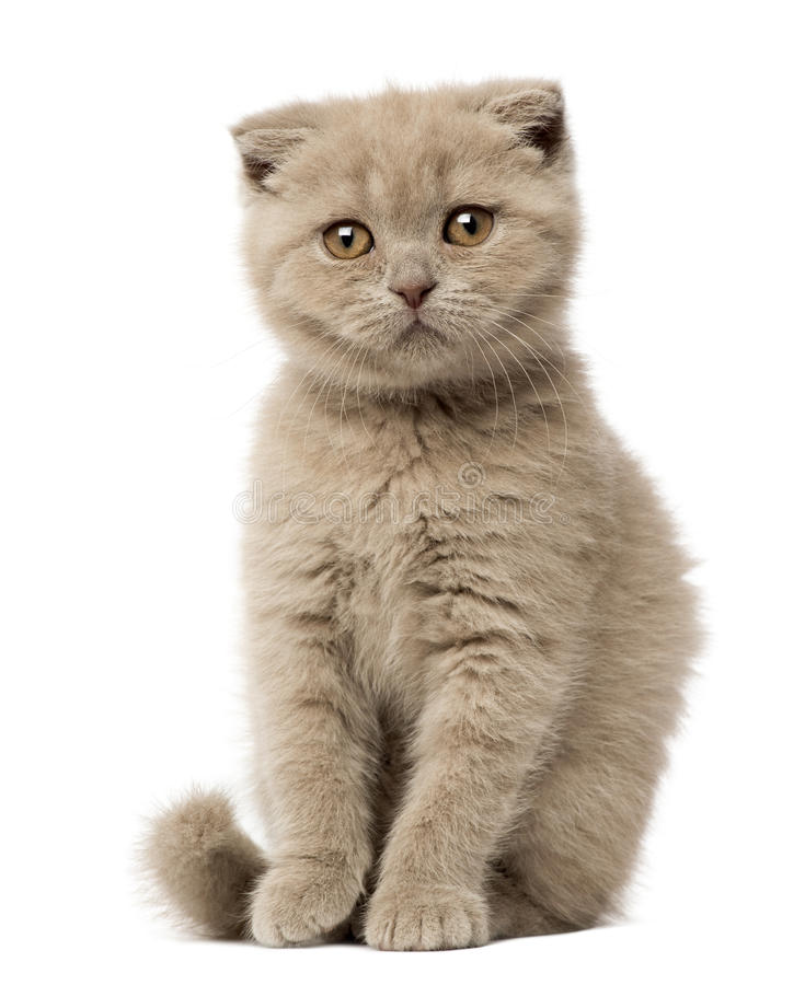 Retrato de la sentada del gatito del doblez del escocés fotos de archivo libres de regalías