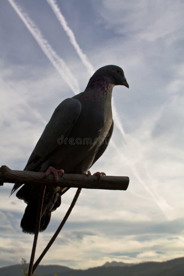 Retrato de la silueta del ringdove de la paloma del bosque en cielo azul con las nubes en puesta del sol fotos de archivo