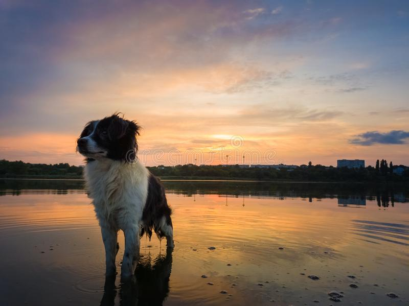 Retrato de la situación seria y atenta del perro del border collie en un agua de la charca sobre fondo de la puesta del sol con l imagen de archivo libre de regalías