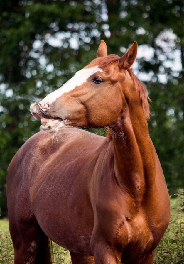 Retrato de la sonrisa divertida del caballo de la castaña foto de archivo
