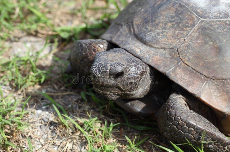 Retrato de la tortuga de Gopher imagen de archivo
