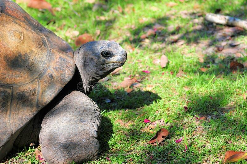Retrato de la tortuga de las Islas Galápagos imagenes de archivo