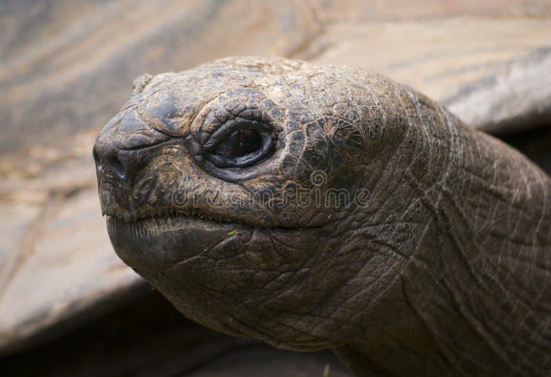 Retrato de la tortuga de la tortuga gigante de las Islas Galápagos imagen de archivo libre de regalías