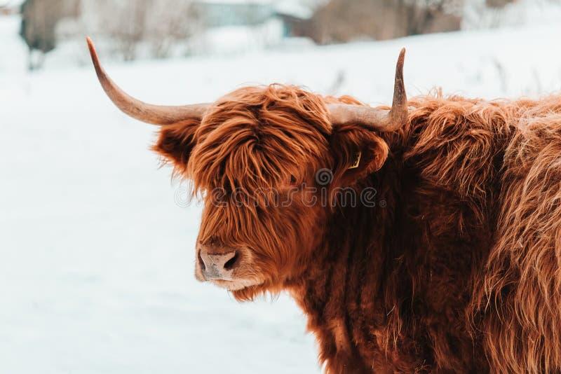 Retrato de la vaca marrón del ganado de la montaña del frente en paisaje del invierno fotos de archivo libres de regalías