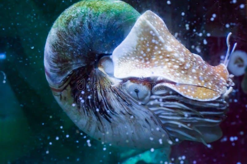 Retrato de la vida marina de un nautilus en cierre encima del cefalópodo fósil vivo tropical raro imagen de archivo