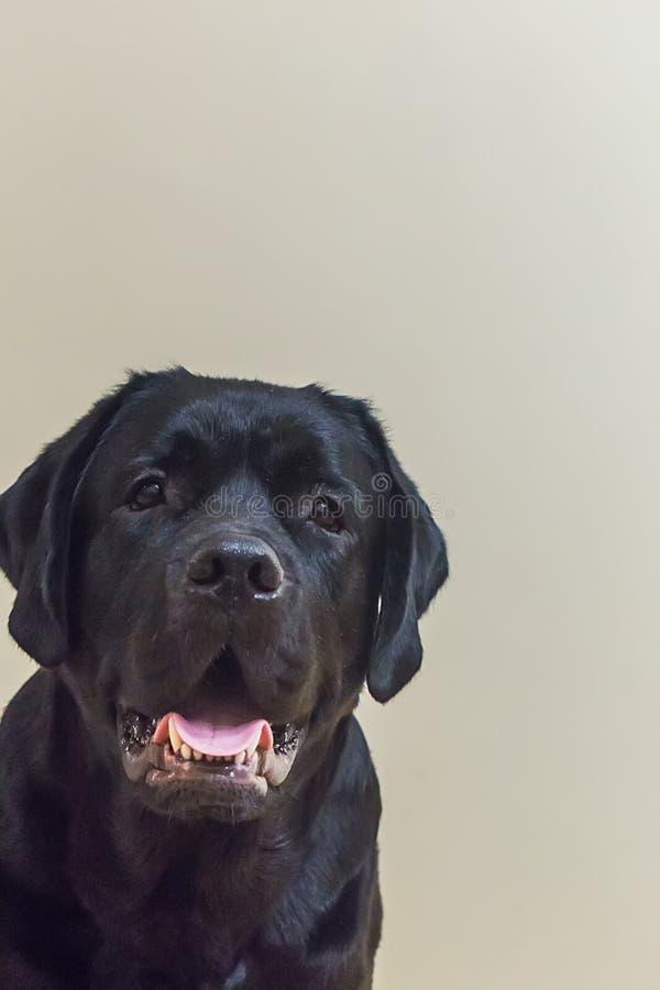 Retrato de Labrador negro joven fotos de archivo libres de regalías