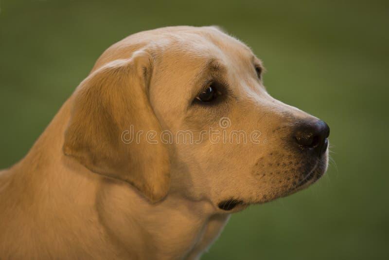 Retrato de labrador retriever foto de stock royalty free