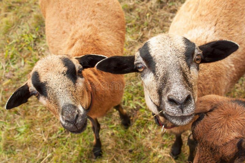 Retrato de las ovejas del Camerún Ovejas en el pasto, mirando en la lente imagenes de archivo