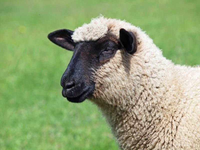 Retrato de las ovejas jovenes de Suffolk imagen de archivo