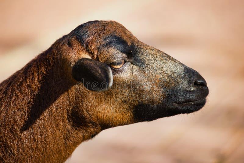 Retrato de las ovejas nacionales del Camerún en el farmfield foto de archivo libre de regalías