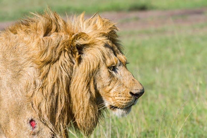 Retrato de leão ferido imagem de stock royalty free