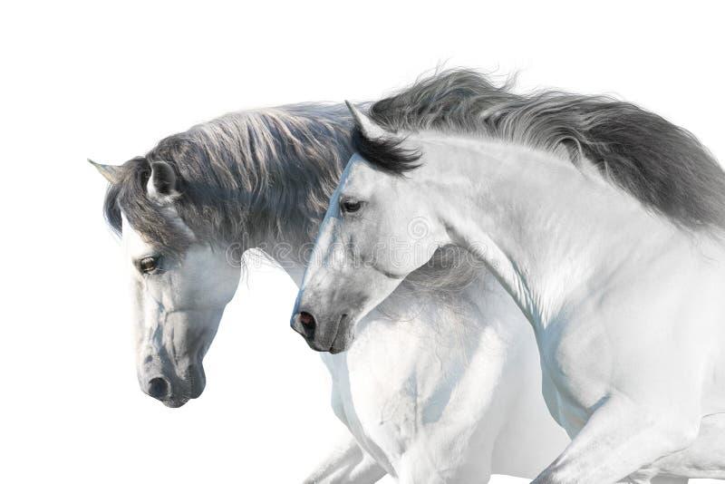 Retrato de los caballos blancos fotografía de archivo libre de regalías
