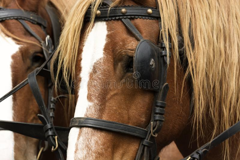 Retrato de los caballos con cierre del equipo para arriba imagen de archivo libre de regalías