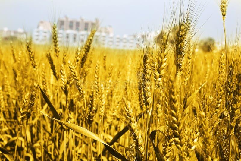 Retrato de los campos de trigo de oro imagen de archivo