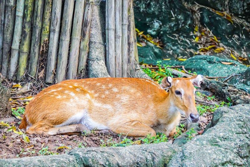 Retrato de los ciervos de Eld que mienten en la tierra en el parque zoológico Tailandia fotografía de archivo libre de regalías