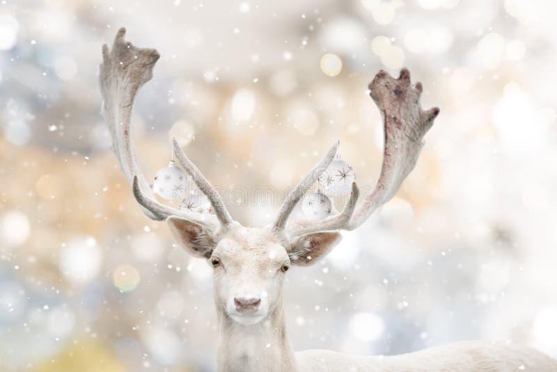 Retrato de los ciervos en barbecho blancos en invierno imagen de archivo
