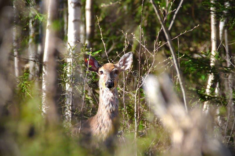 Retrato de los ciervos de huevas imagenes de archivo