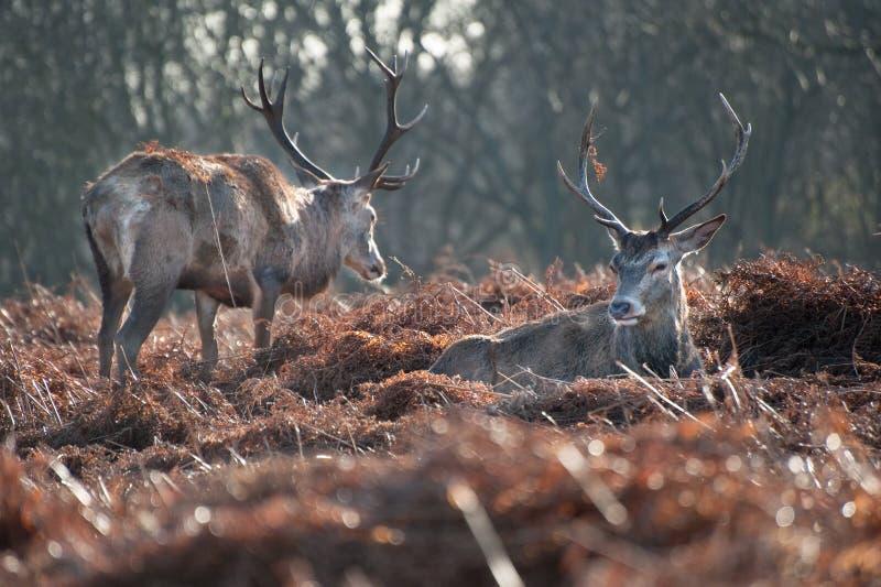 Retrato de los machos majestuosos de los ciervos rojos en caída del otoño foto de archivo libre de regalías