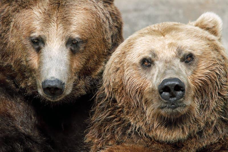 Retrato de los osos de Brown imagen de archivo