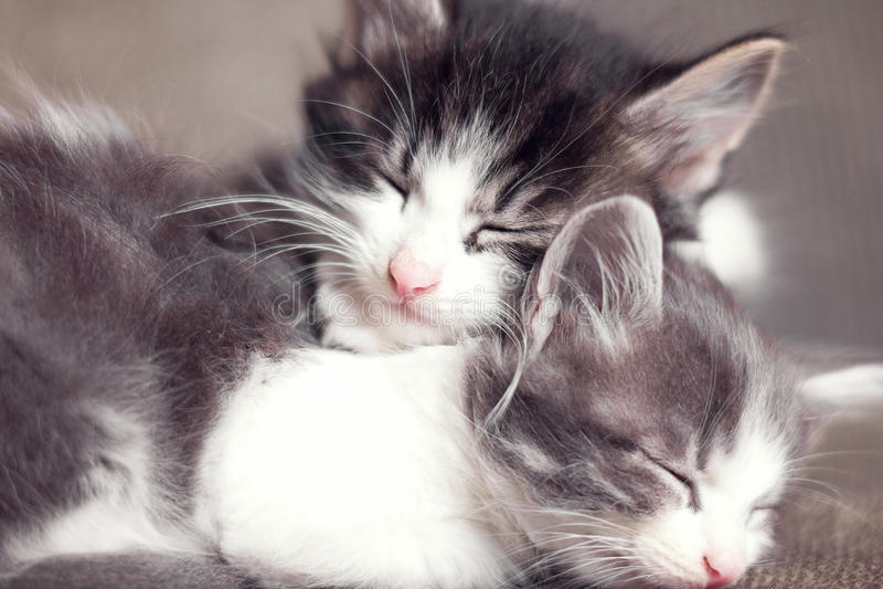 Retrato de los pequeños gatitos que duermen junto fotografía de archivo