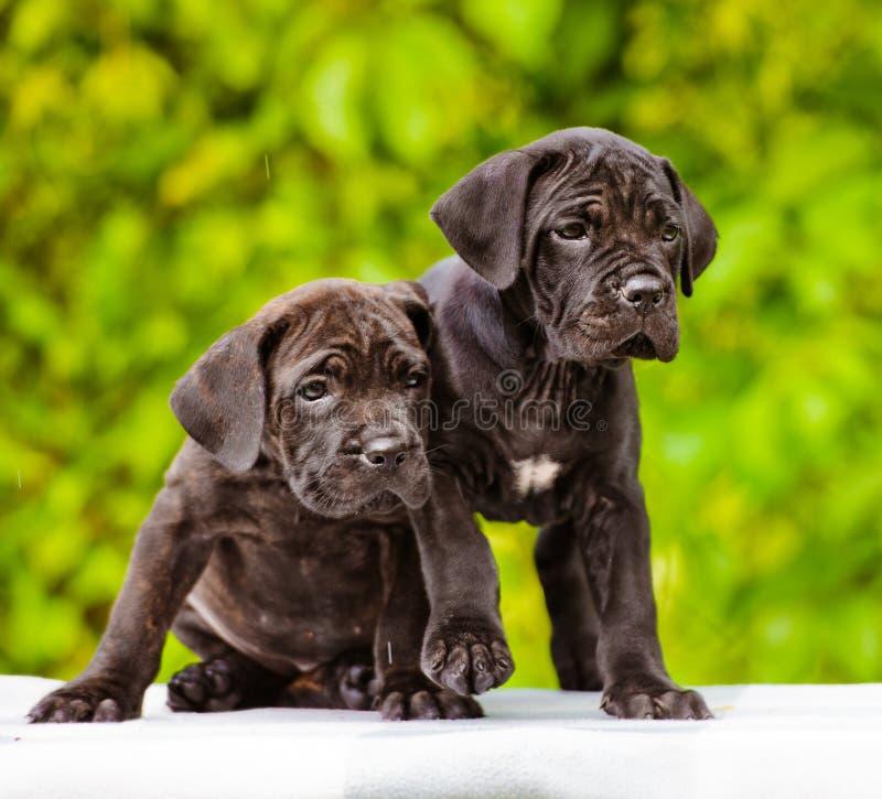 Retrato de los perritos del corso del bastón foto de archivo libre de regalías