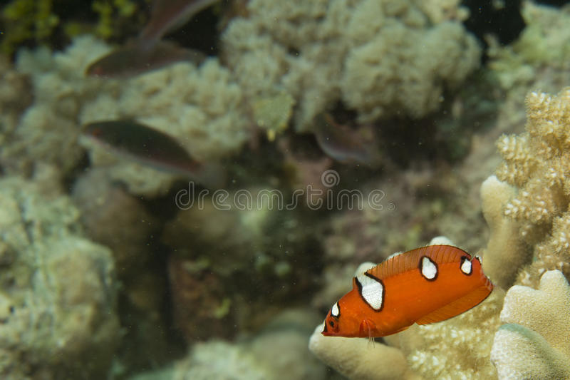 Download Retrato De Los Pescados De Los Wrasses Del Arco Iris De Coris Foto de archivo - Imagen de gente, coral: 41902030