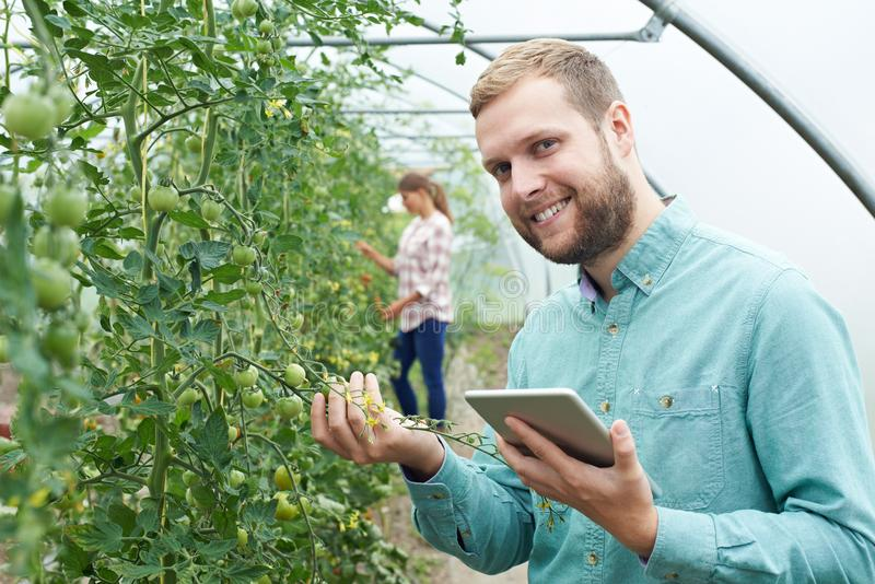 Retrato de los trabajadores agrícolas que comprueban las plantas de tomate usando los Di imagenes de archivo