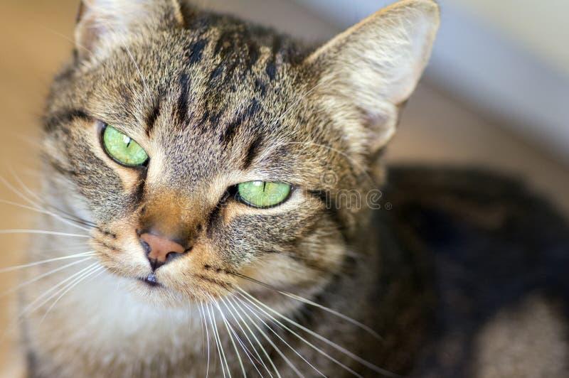 Retrato de mármol nacional del gato, contacto visual, cara linda del gatito fotos de archivo libres de regalías
