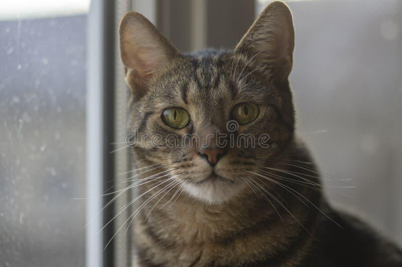 Retrato de mármol nacional del gato, contacto visual, cara linda del gatito, curiosa imagen de archivo