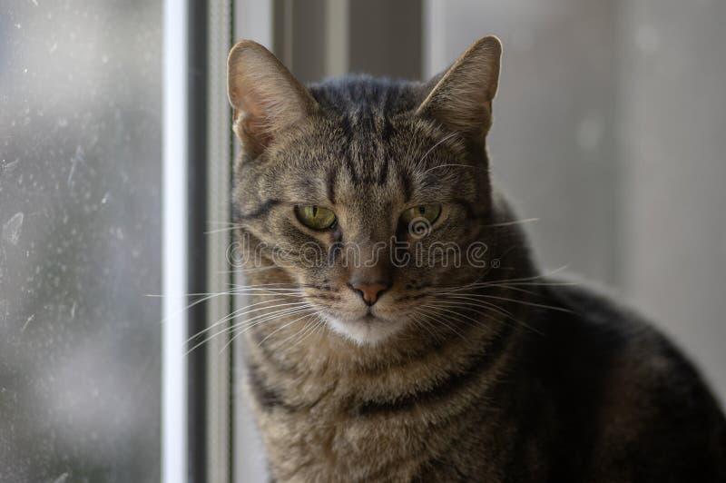 Retrato de mármol nacional del gato, contacto visual, cara linda del gatito, curiosa fotografía de archivo libre de regalías