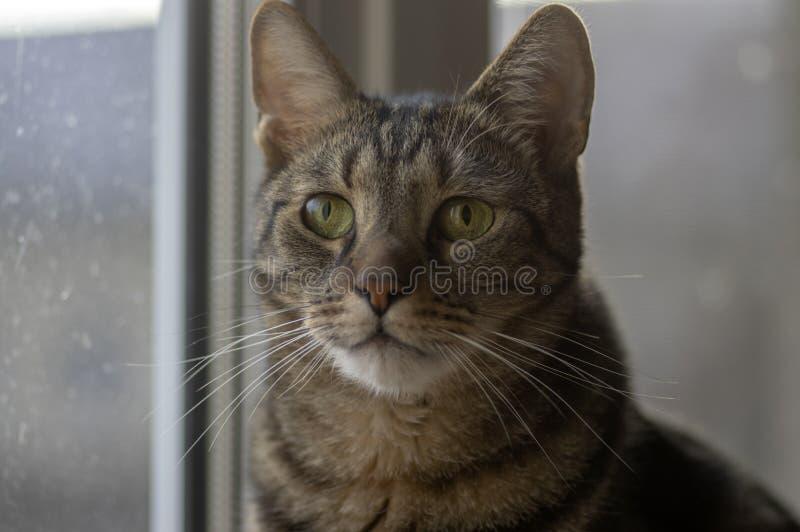 Retrato de mármol nacional del gato, contacto visual, cara linda del gatito, curiosa foto de archivo