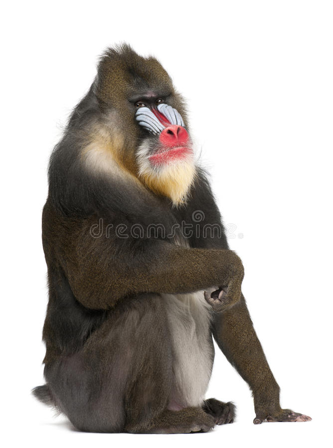 Retrato de Mandrill, esfinge del Mandrillus, primate foto de archivo