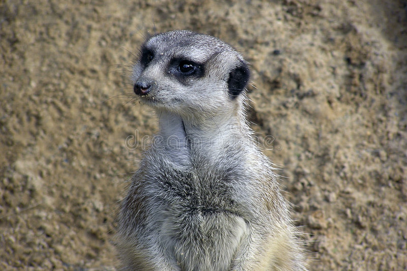Retrato De Meerkat Foto de archivo libre de regalías