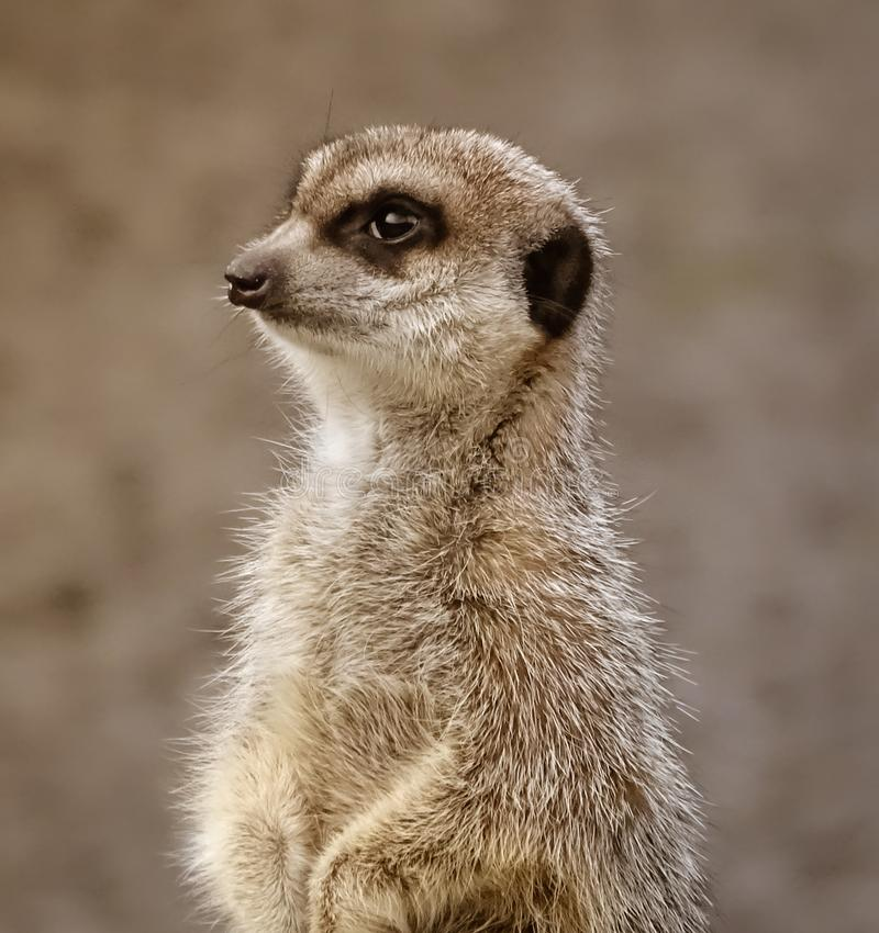 Retrato de Meerkat imagen de archivo libre de regalías