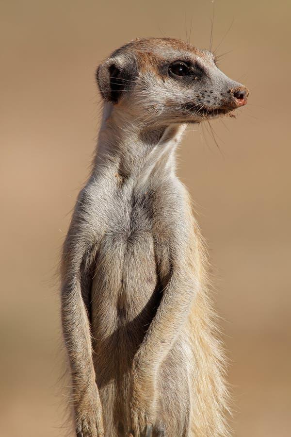 Retrato de Meerkat fotografia de stock royalty free