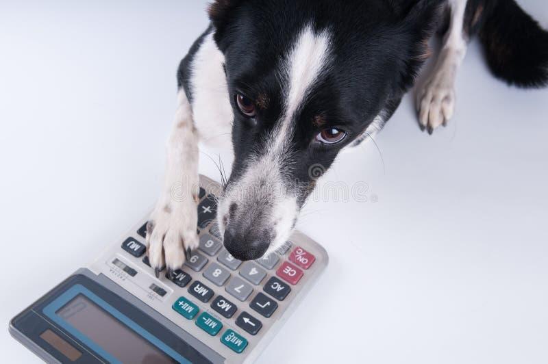 Retrato de mentira del perro con la calculadora fotos de archivo