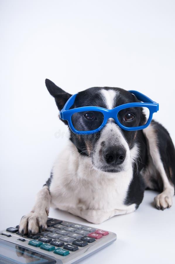 Retrato de mentira del perro con la calculadora imagen de archivo libre de regalías