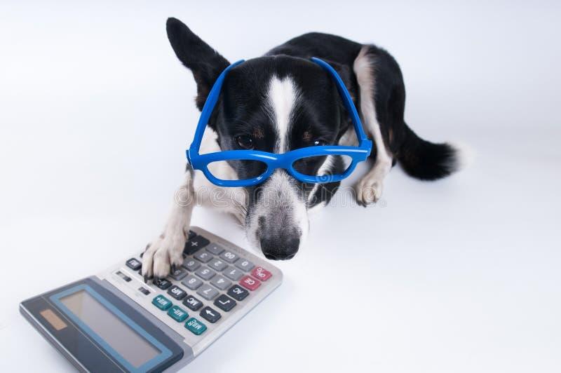 Retrato de mentira del perro con la calculadora fotografía de archivo