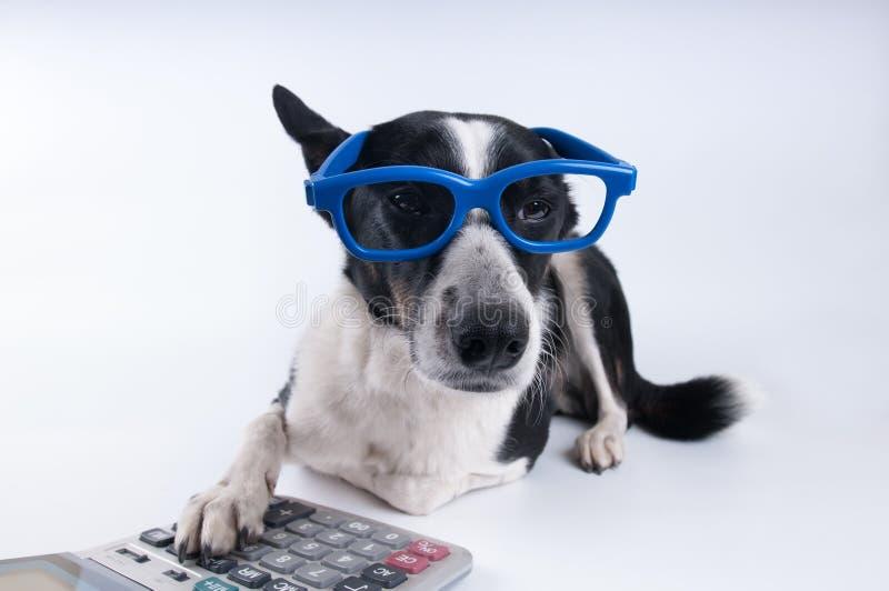 Retrato de mentira del perro con la calculadora imagenes de archivo