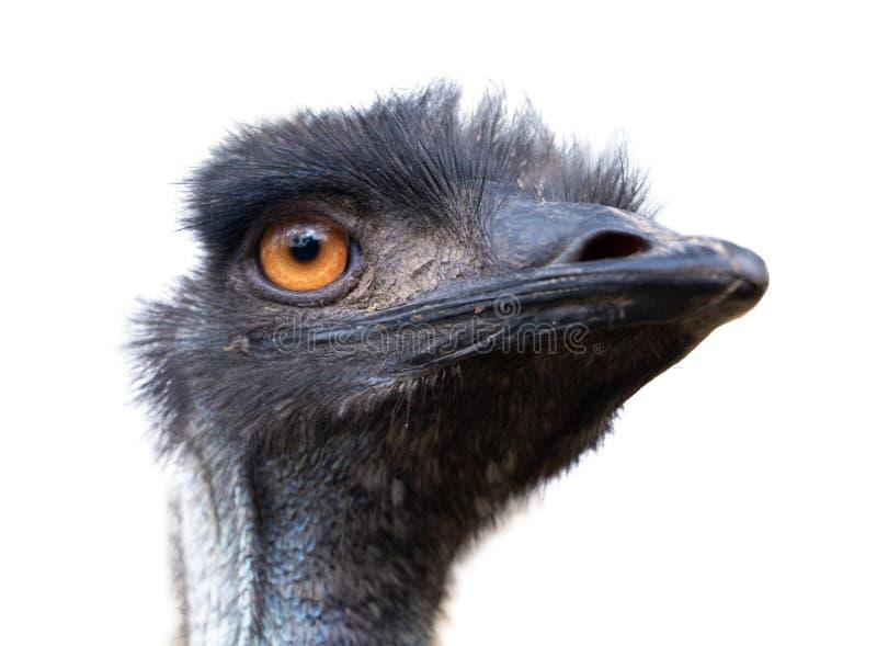 Retrato de novaehollandiae australianos do Dromaius do pássaro do ema imagem de stock royalty free